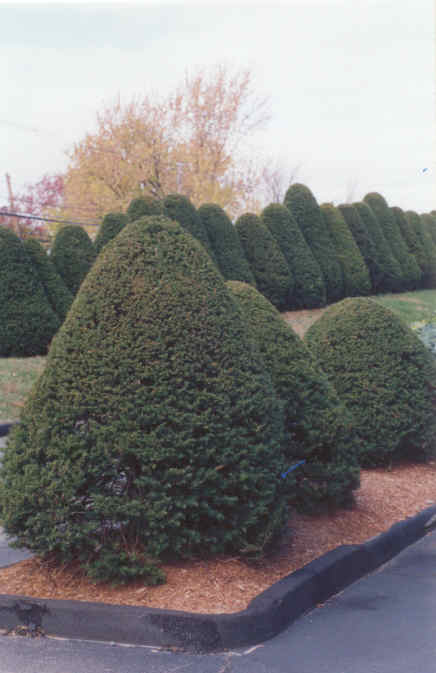 Conical Shaped Trees