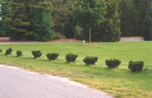 Small Hedges Line a Driveway