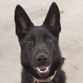 photo of the police k-9 dog