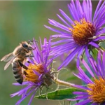 honey-bee-feeding-on-aster